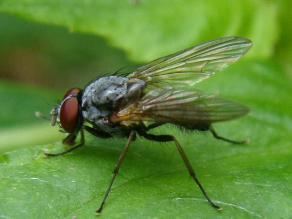 Emmesomyia grisea(m)