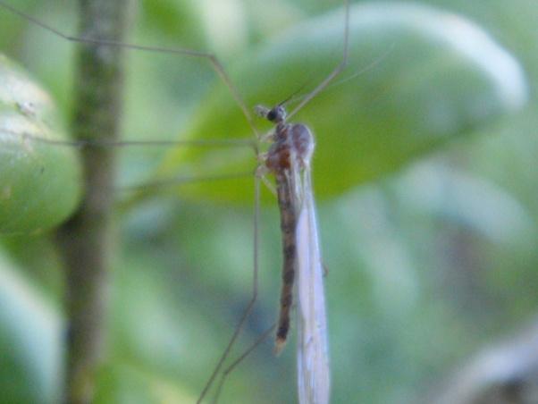 Trichocera annulata
