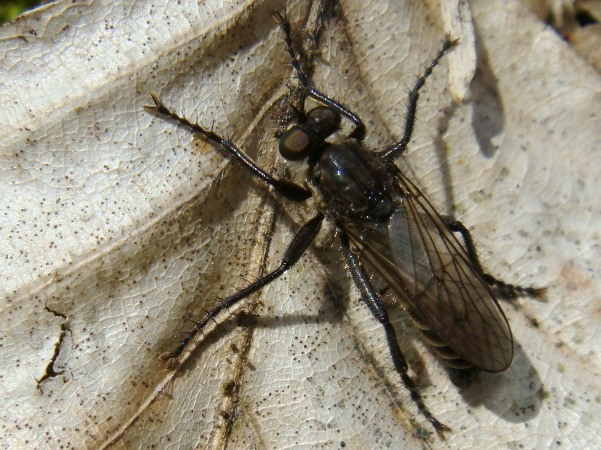 Lasiopogon cinctus