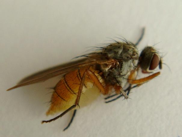Mycophaga testacea(f)