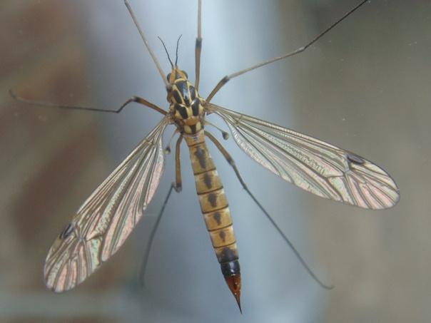 Nephrotoma guestfalica(m)