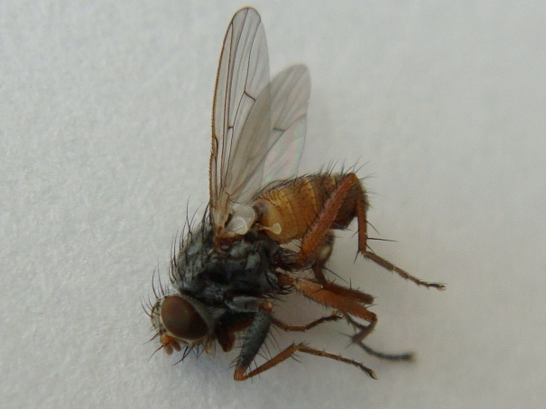 Lispocephala brachialis(m)