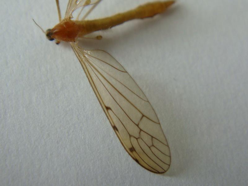 Limonia phragmitides
