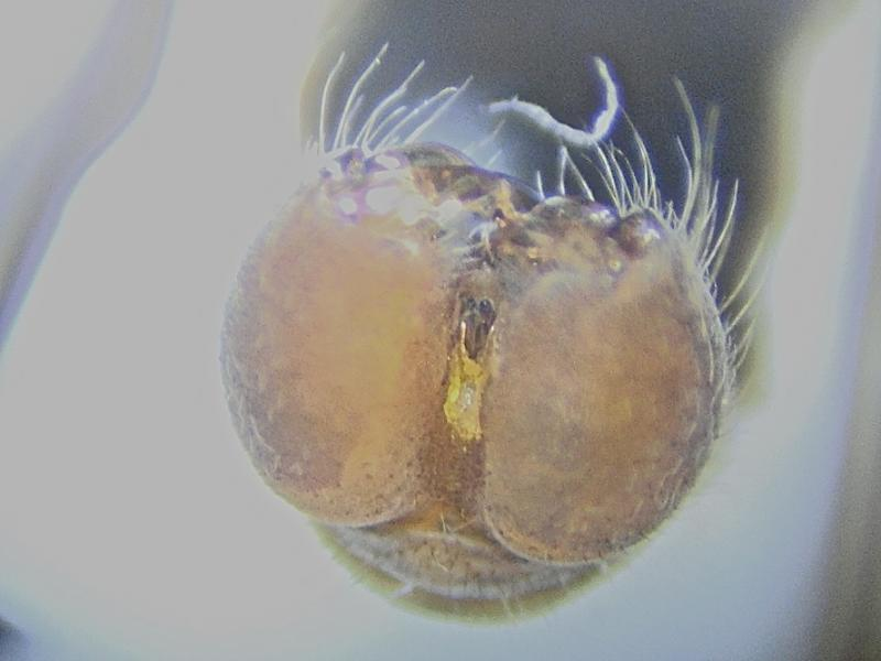 Timicra pilipes