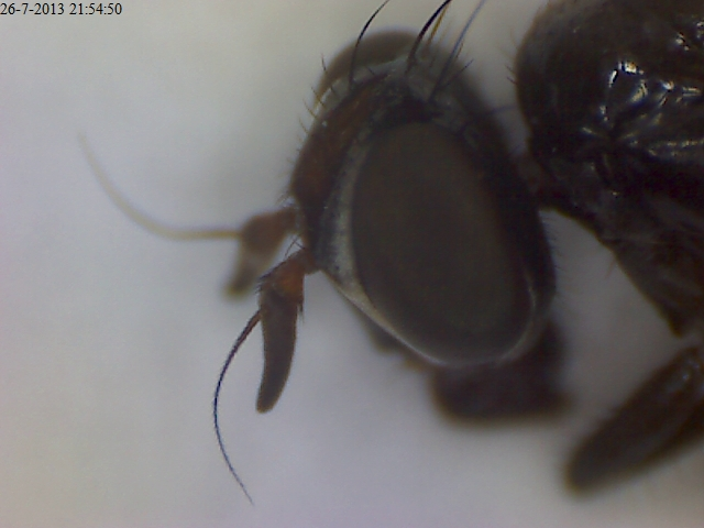 Herina palustris