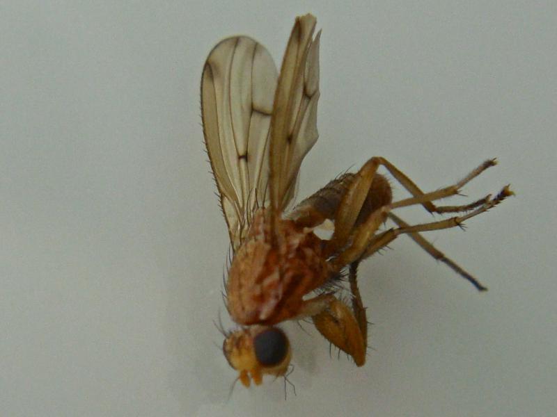 Suillia similis