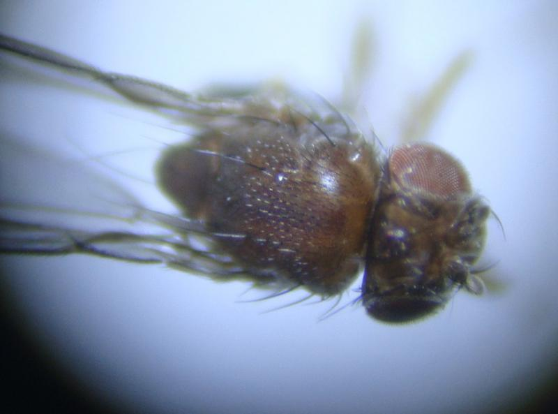 Scaptodrosophila rufifrons