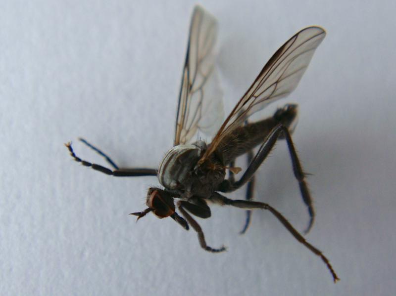 Rhamphomyia crassirostris(m)