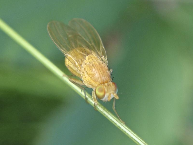 Sapromyza spec.