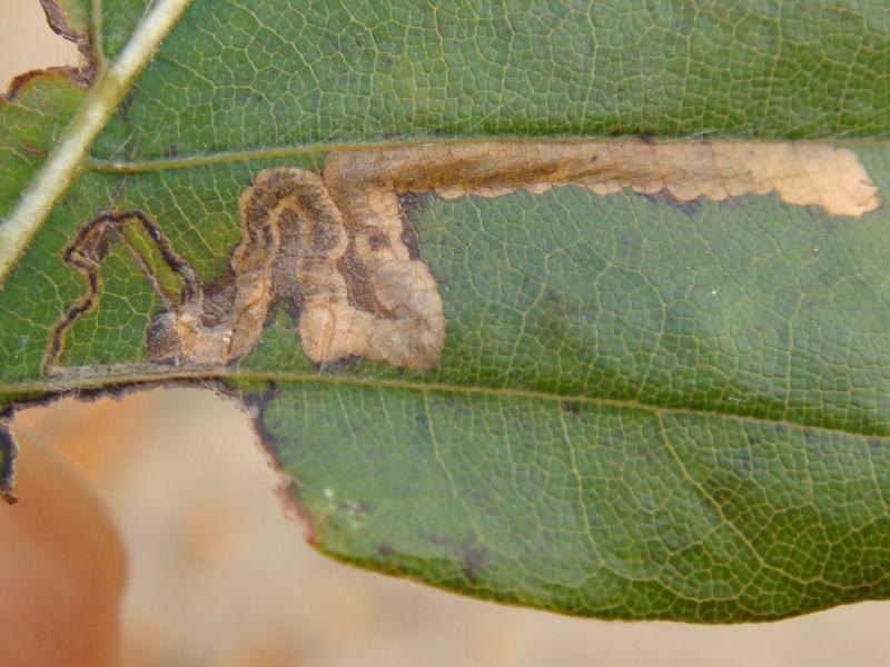 Stigmella tityrellaa