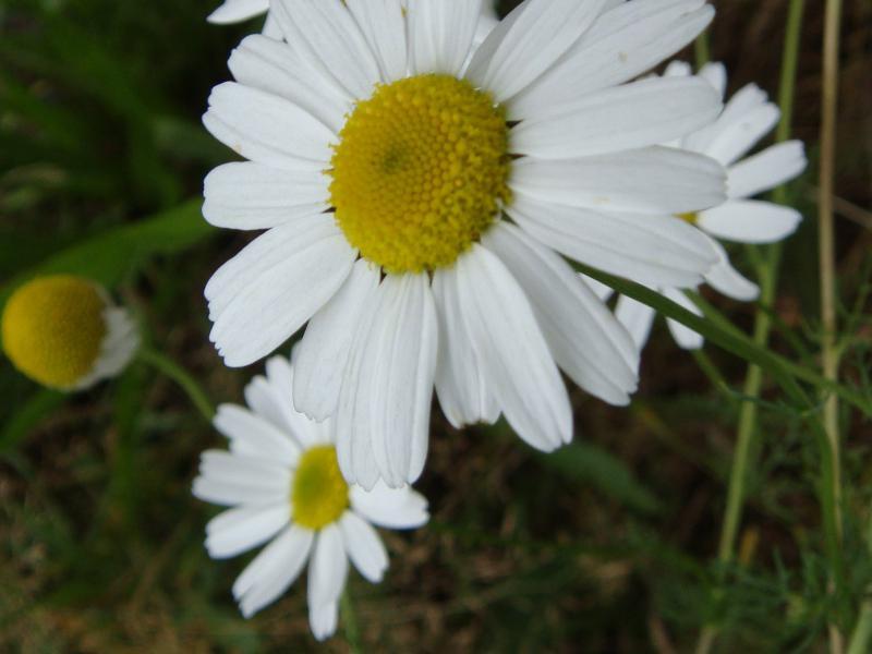 Matricaria spec. Kamille soort