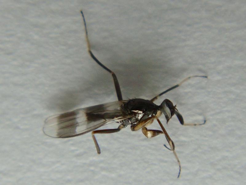 Tachydromia smithi