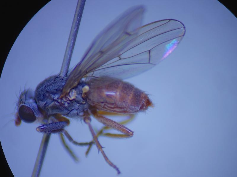 Pherbellia ventralis
