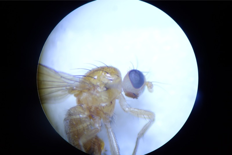 Meiosimyza decipiens