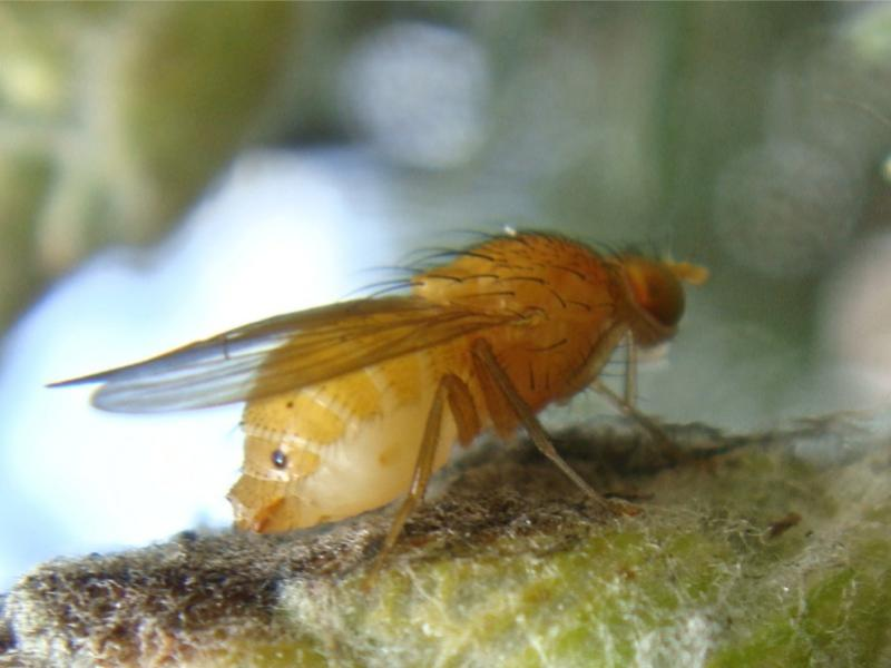 Sapromyza quadricincta