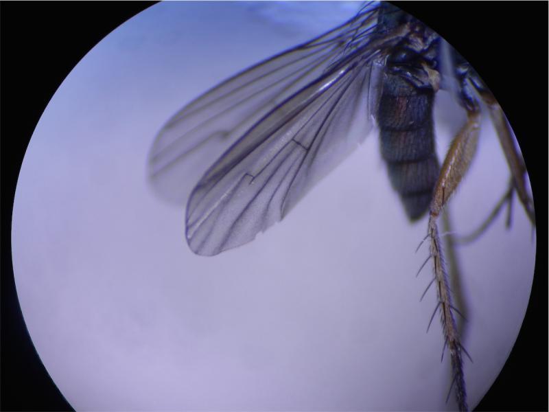 Dolichopus griseipennis