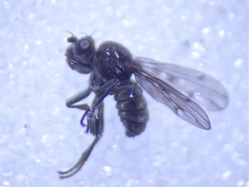 Parydra quadripunctata