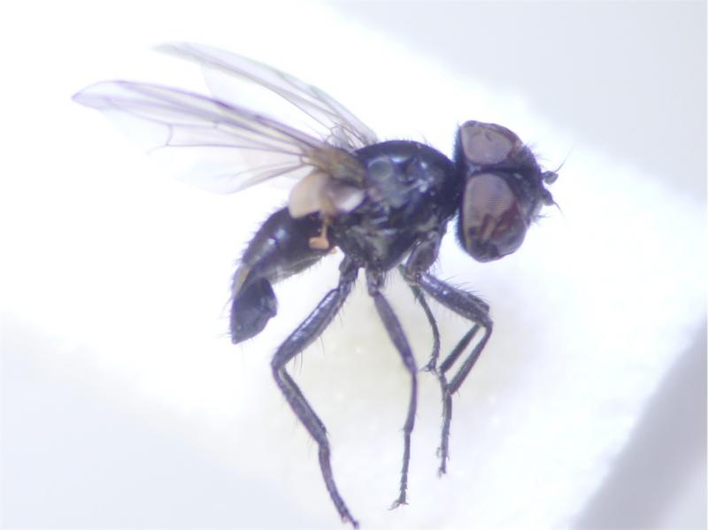 Phasia barbifrons