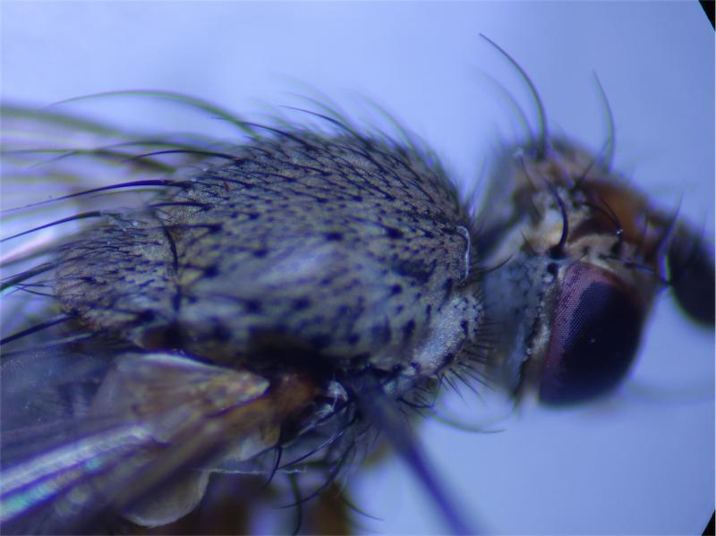 Siphona setosa
