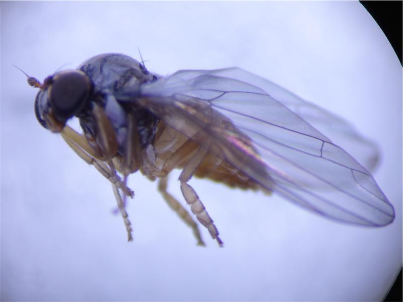 Protoclythia rufa