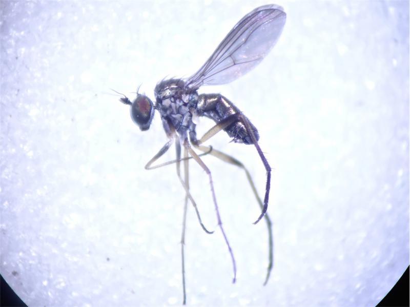 Sympycnus pulicarius