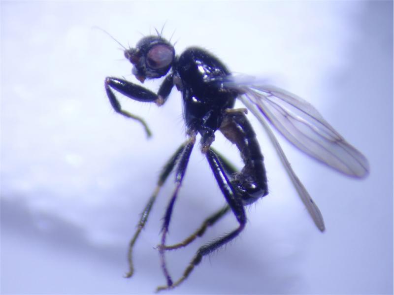 Crumomyia fimetaria