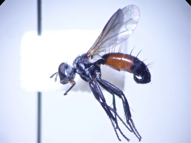 Cylindromyia interruptia
