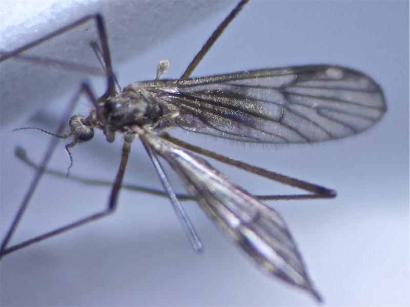 Rhypholophus varius