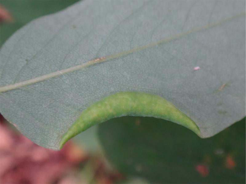 Obolodiphosis robiniae Robiniagalmug