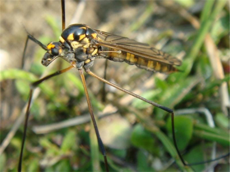 Nephrotoma pratensis