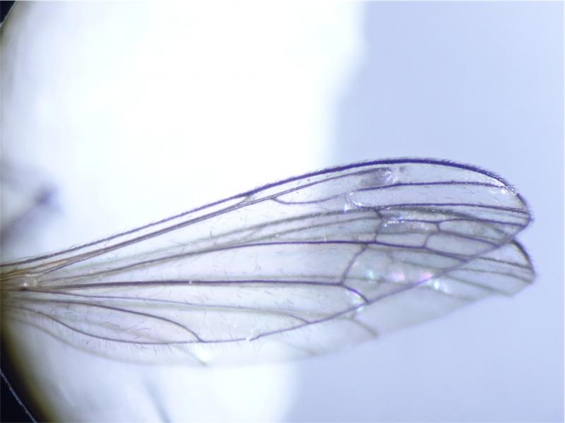Dicranomyia morio