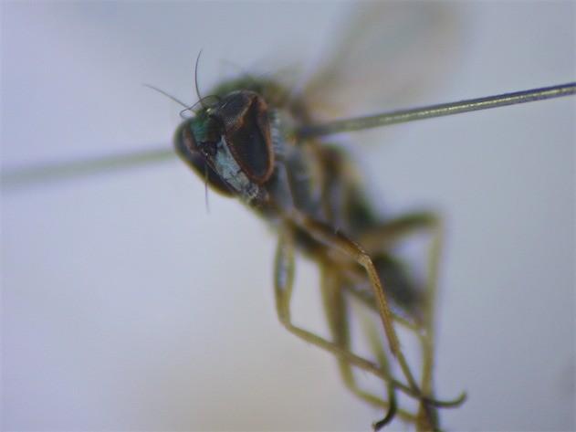 Chrysotus neglectus(f)