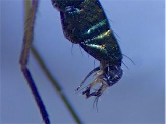 Sciapus longulus