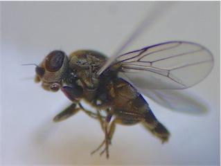 Aphanotrigonum trilineatum