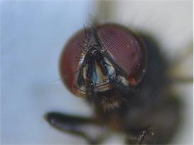 Hydrotaea cyrtoneurina(m)