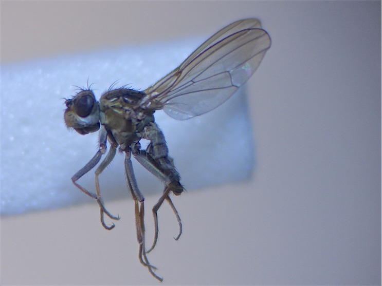 Ephydra riparia(f)