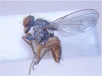 Lispocephala brachialis(f)