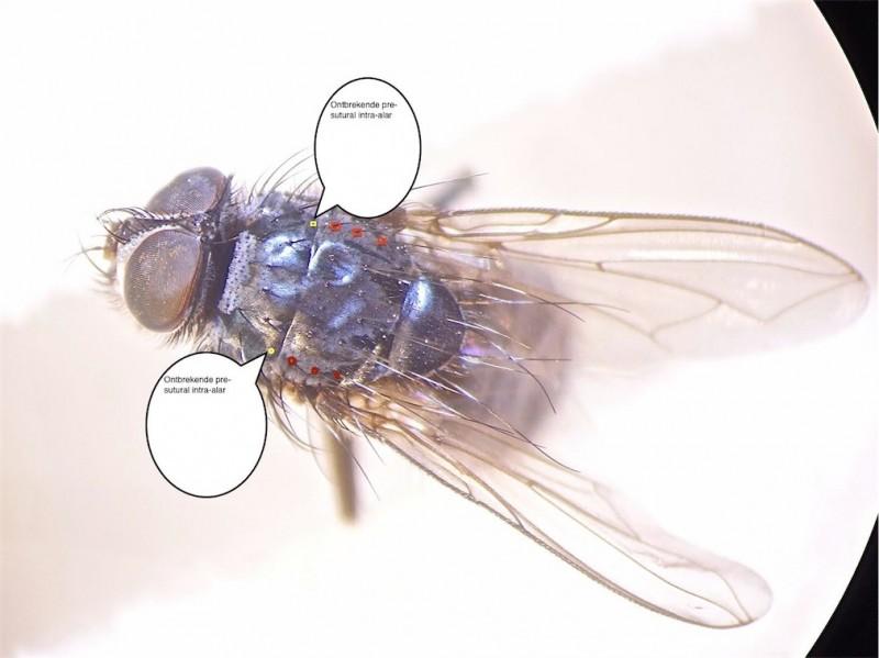 Melinda viridicyanea(m)