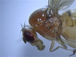 Drosophila kuntzei