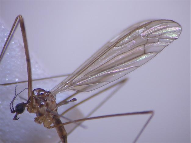 Limonia macrostigma