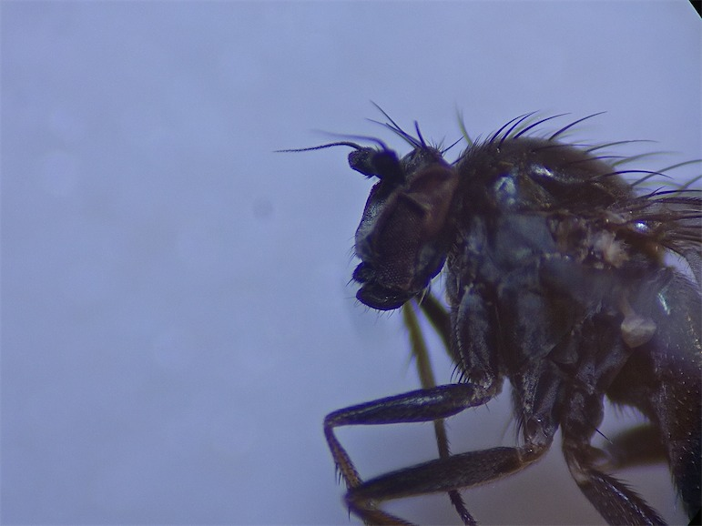 Gymnopternus angustifrons