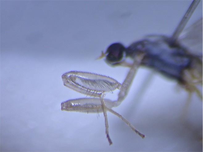 Chelifera cf. flavella(f)