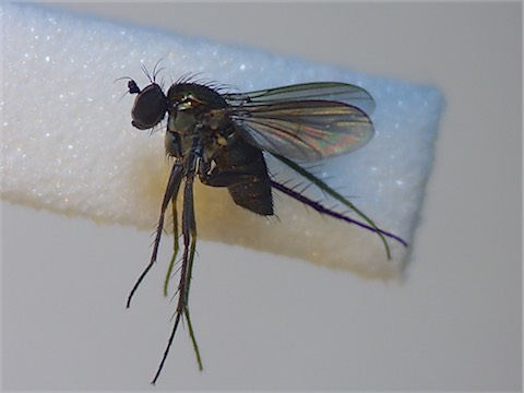 Dolichopus atripes