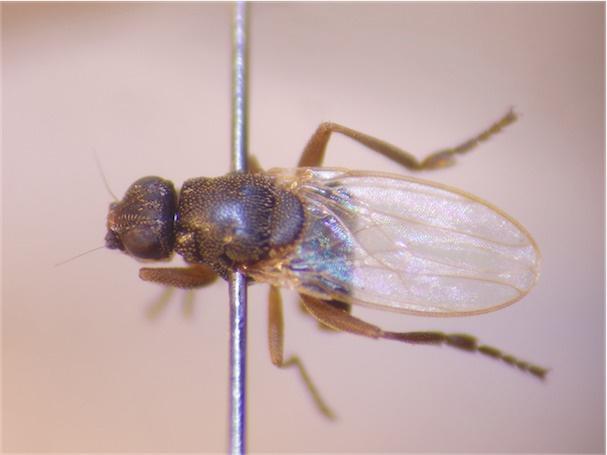 Lotobia pallidiventris