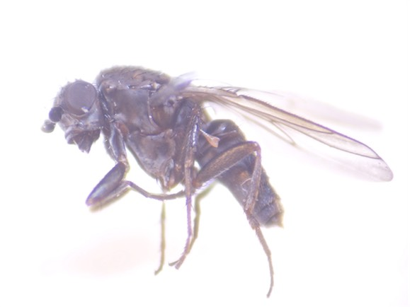 Leptocera fontinalis