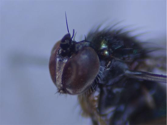 Dolichopus nubilus(m)