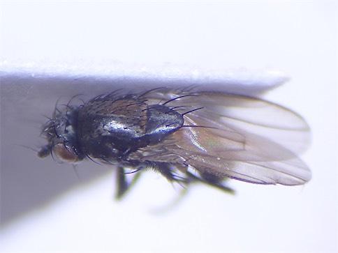 Rachispoda fuscipennis