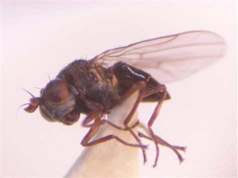 Hyadina guttata