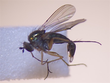 Dolichopus caligatus(m)