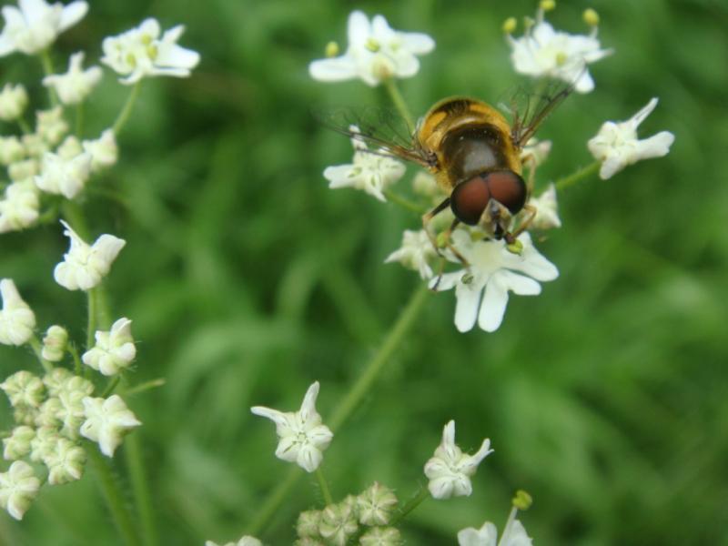 Eristalis horticola Bosbijvlieg(m)